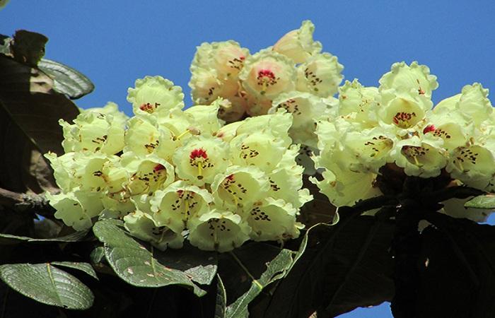 Hoa đỗ quyên rực rỡ trong nắng sớm